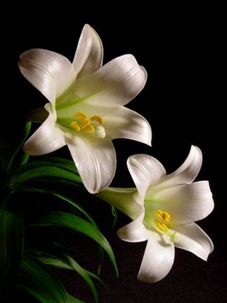 easter_lily-764560.jpg